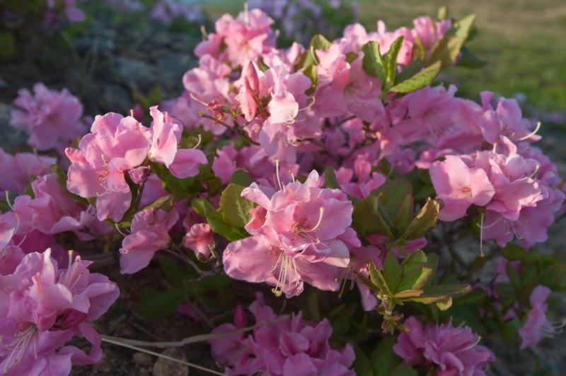 Рододендрон Шлиппенбаха Майские картинки, природа, фото