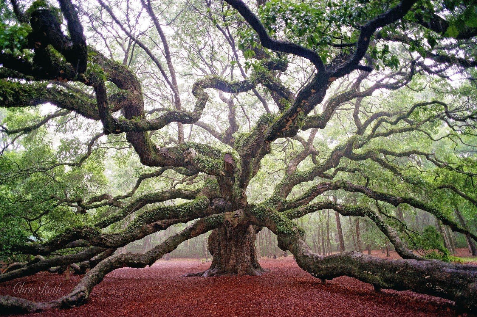 Дуб Ангела, Южная Каролина, США красивые места, мир, природа, путешествия, сказка