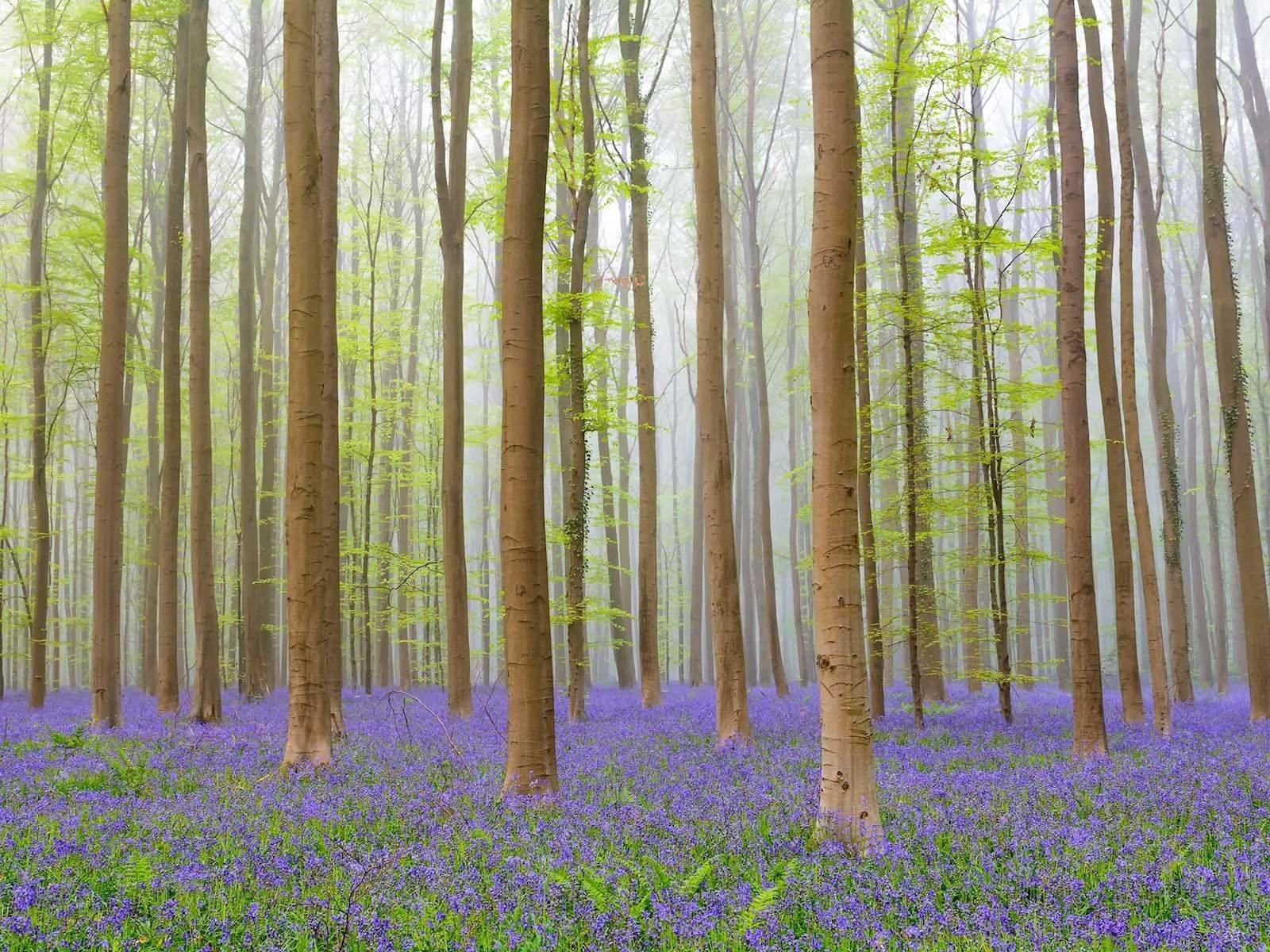 Лес Халлербос, Бельгия красивые места, мир, природа, путешествия, сказка