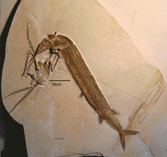 И снова - жертва Rhamphorhynchus атакован Aspidorhynchus  животные, интересно, окаменелости, палеонтология