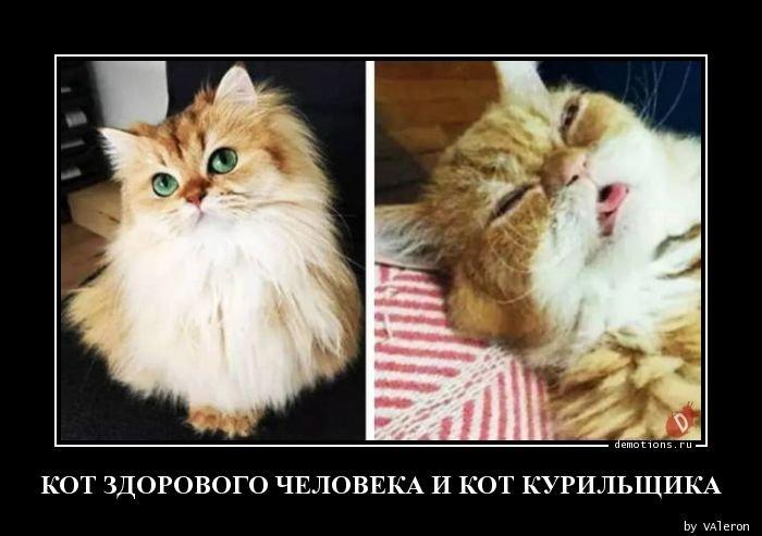Кот здорового человека и кот курильщика демотиватор, демотиваторы, жизненно, картинки, подборка, прикол, смех, юмор