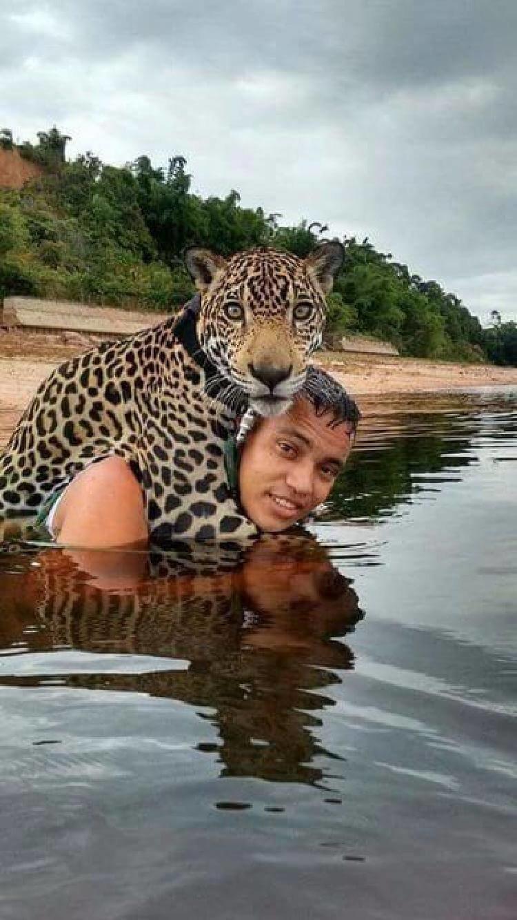 Ягуар тонул в потоке воды, внезапно он увидел рядом человека история, кошки, спасение