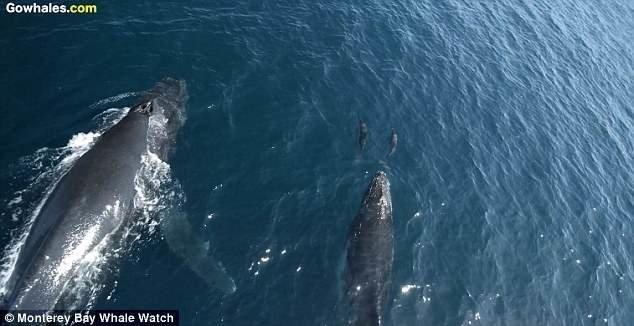 Видеозапись была сделана с помощью дрона во время недавнего наблюдения за китами неподалеку от Монтерея видео с животными, горбатый кит, дельфины, калифорния, киты, морские животные, морские жители, природа