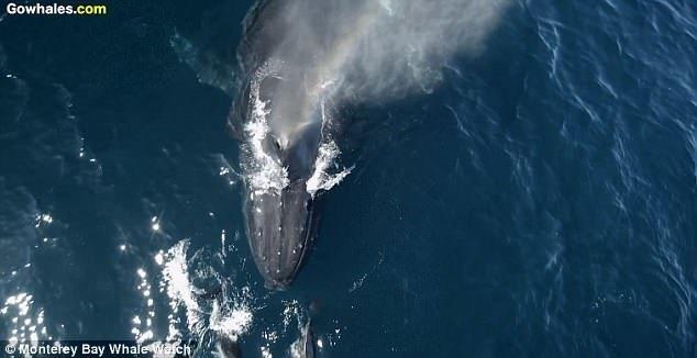 """Примерно 1500 дельфинов """"оседлали"""" волны, создаваемые самкой горбатого кита и ее детенышем видео с животными, горбатый кит, дельфины, калифорния, киты, морские животные, морские жители, природа"""