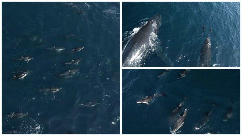 Видео: 1500 дельфинов-серферов видео с животными, горбатый кит, дельфины, калифорния, киты, морские животные, морские жители, природа