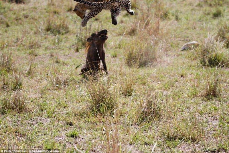 Последний прыжок бородавочник, животные, леопард, охота, рыжок