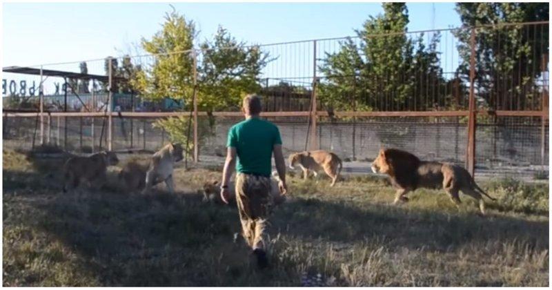 Как волшебный тапок спас молодую львицу Тайган, видео, животные, крым, львица, тапок, хищники