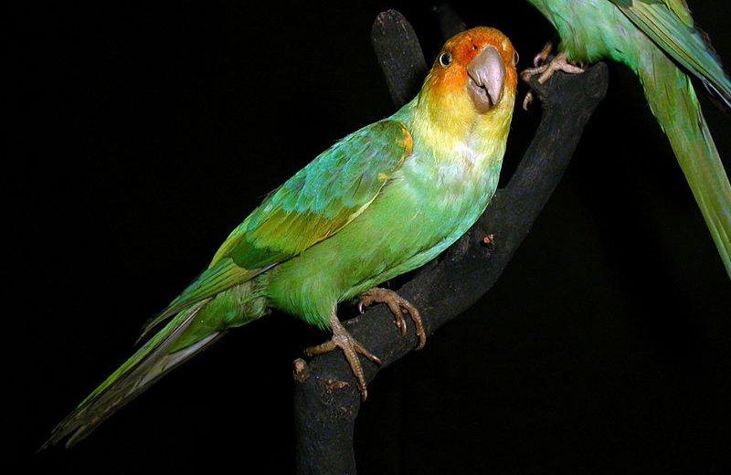 18. Каролинский попугай вымерли, животные, история, человек