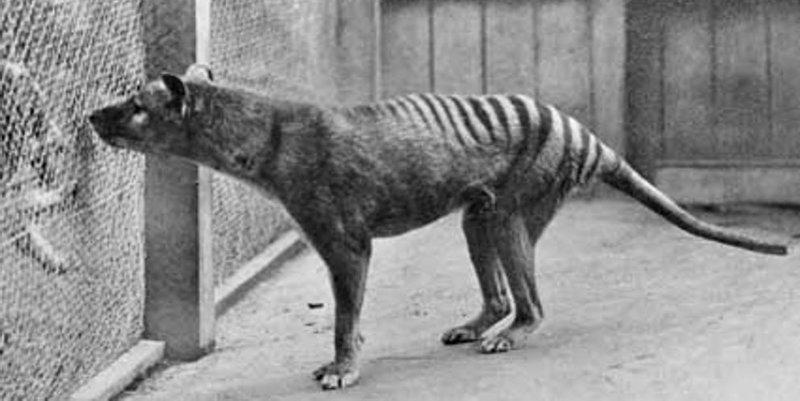 8. Сумчатый волк вымерли, животные, история, человек
