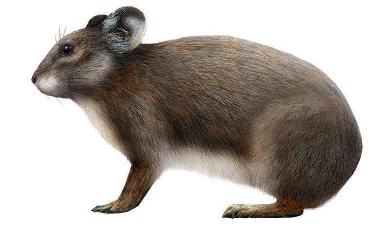 4. Сардинская пищуха вымерли, животные, история, человек