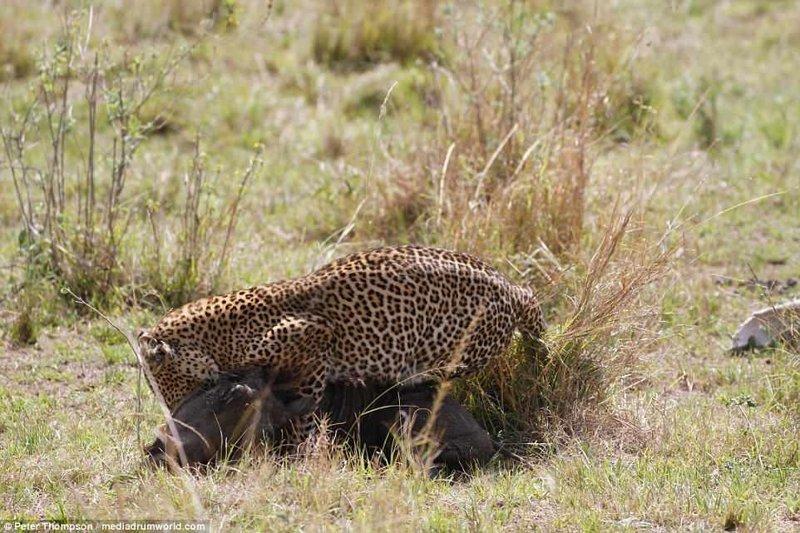 Кушать подано! битва животных, бородавочник, заповедник, кения, леопард, масаи-мара, самка, схватка