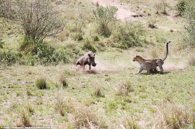 Поначалу он делает попытку сбежать от хищницы, ведь становиться ее обедом как-то не хочется битва животных, бородавочник, заповедник, кения, леопард, масаи-мара, самка, схватка