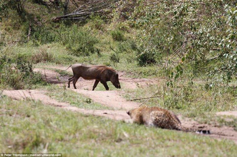 Бородавочник мирно идет по своим делам, не подозревая о том, что леопард уже выбрал его в качестве жертвы и готов наброситься битва животных, бородавочник, заповедник, кения, леопард, масаи-мара, самка, схватка