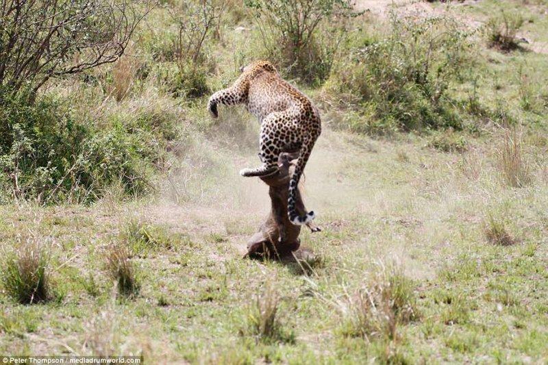 Выхода нет битва животных, бородавочник, заповедник, кения, леопард, масаи-мара, самка, схватка