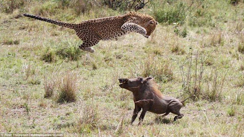Танец смерти битва животных, бородавочник, заповедник, кения, леопард, масаи-мара, самка, схватка
