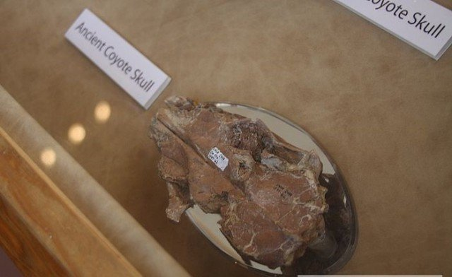 Череп койота-неудачника  интересно, наука, палеонтология