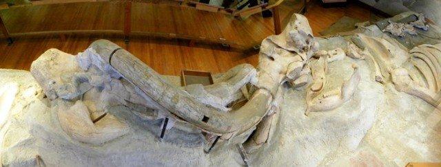 Находка в музее Небраски, экспозиция  интересно, наука, палеонтология