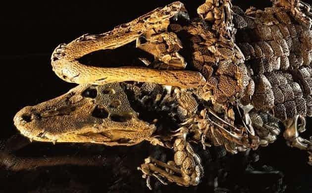 еликолепный сохран, найден в горючих сланцах, задохнулся в ядовитом газе, даже не почувствовав, что умирает.  интересно, наука, палеонтология