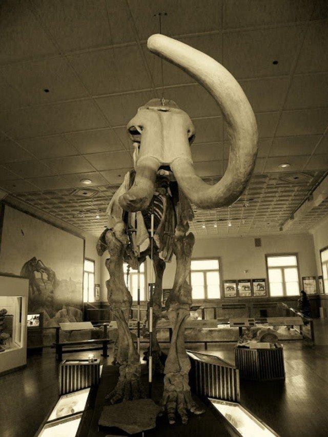 Муляж скелета одного из мамонтов в том же музее  интересно, наука, палеонтология