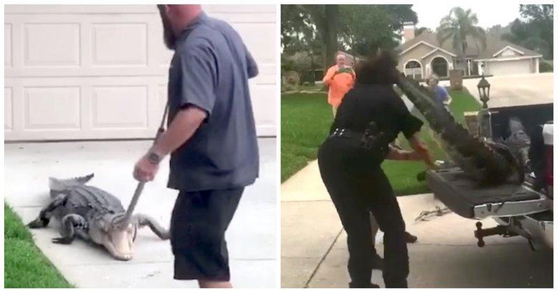 Агрессивный аллигатор отправил в глубокий нокаут полицейского аллигатор, видео, животные, происшествие, сша, удар, флорида