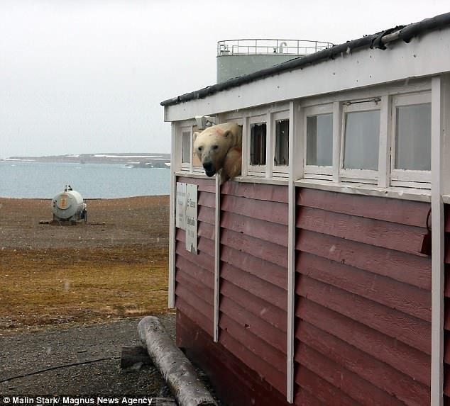 Белый медведь хотел пролезть на склад продуктов и застрял ynews, белый медведь, животные, застрял, интересное, медведь, фото