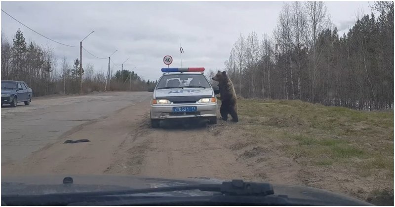 Медведь решил проинспектировать машину ДПС видео, голод, дпс, животные, медведь, прикол, республика коми, юмор