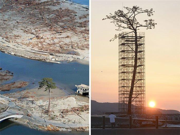 Единственное дерево, которое пережило цунами в Японии. Теперь о нем заботятся в мире, деревья, красота, природа, фото