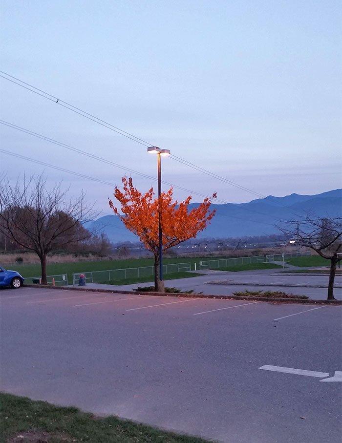 Вот, кстати, если кто не верит, что листья желтеют от недостатка света (а не от холода) — покажи ему (или ей) это фото. Больше света — дольше держится! в мире, деревья, красота, природа, фото
