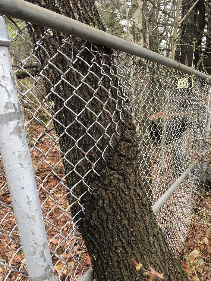 Решетка, не решетка, а рост по расписанию в мире, деревья, красота, природа, фото