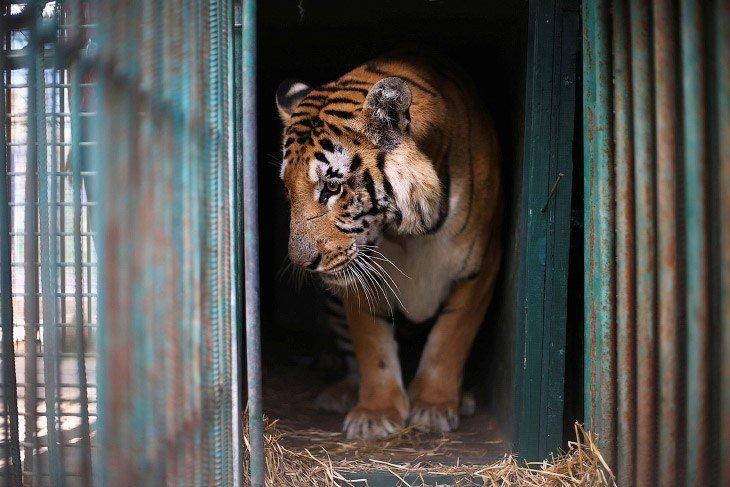 В зоопарке Хельсинки скончался единственный в мире травоядный тигр еда, животные, коты, тигр, факты