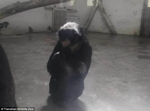Сигаретами и зажигалками посетители зоопарка его снабжают все это время регулярно и бесперебойно, и администрация зоопарка никак этому не препятствовала зоопарк, и такое бывает, китай, курение, обезьяна, сигареты, шимпанзе, шимпанзе как люди