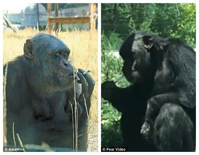 Животному 28 лет, и курит оно примерно с 2002 года. До того как попасть в этот зоопарк, Джиаку выступал в цирке зоопарк, и такое бывает, китай, курение, обезьяна, сигареты, шимпанзе, шимпанзе как люди