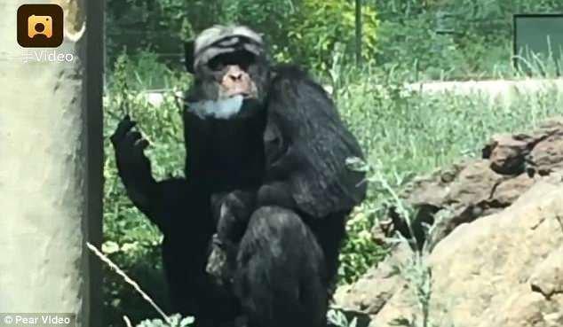 Шимпанзе Джиаку из китайского зоопарка Tianshan Wildlife - заядлый курильщик зоопарк, и такое бывает, китай, курение, обезьяна, сигареты, шимпанзе, шимпанзе как люди