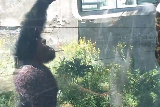 Джиаку с радостью их подбирает и подходит ближе, чтобы взять еще зоопарк, и такое бывает, китай, курение, обезьяна, сигареты, шимпанзе, шимпанзе как люди