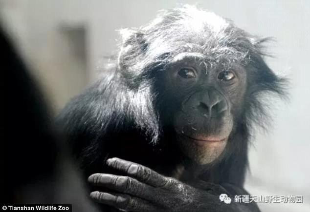 Джиаку научился курить еще до того, как его привезли в этот зоопарк в 2006 году зоопарк, и такое бывает, китай, курение, обезьяна, сигареты, шимпанзе, шимпанзе как люди