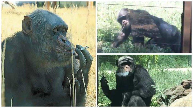 Видео: в китайском зоопарке живет курящая обезьяна зоопарк, и такое бывает, китай, курение, обезьяна, сигареты, шимпанзе, шимпанзе как люди