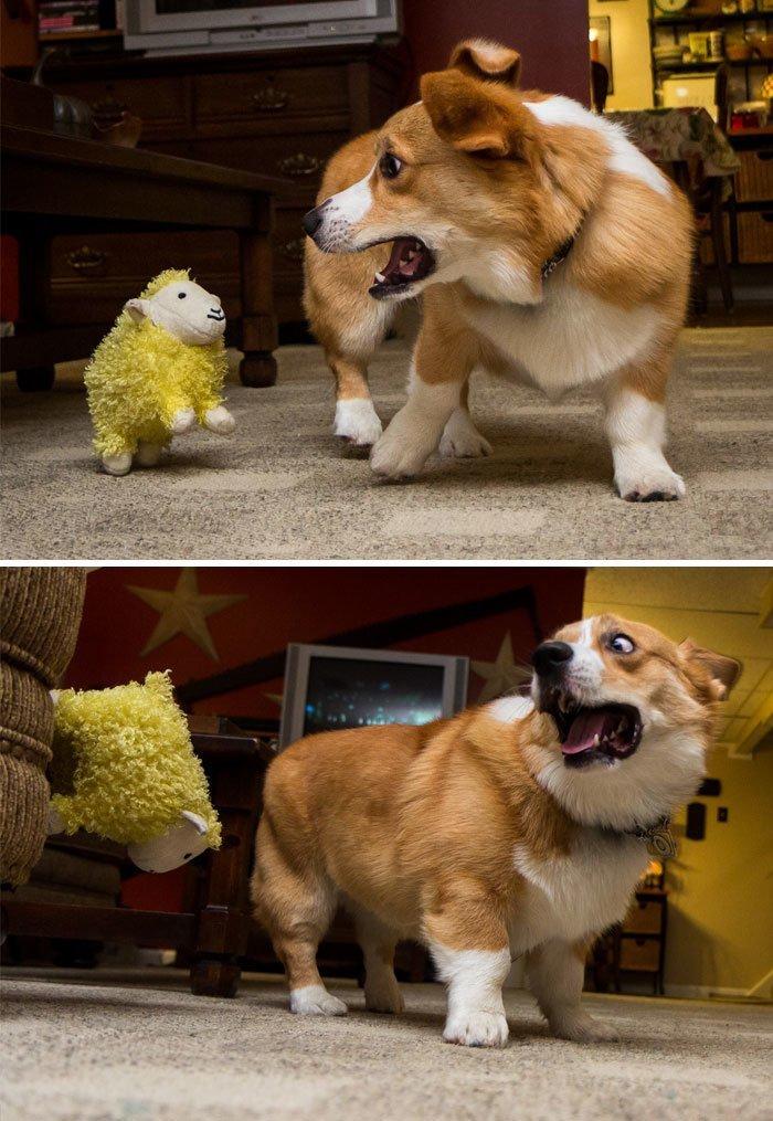 Я тебя не боюсь, желтое страшилище!.. Или боюсь? домашние любимцы, животные, забавно, корги, очаровательно, питомцы, псы и хозяева, собаки