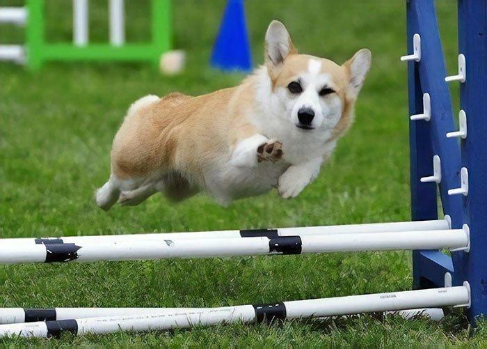 Пан спортсмен домашние любимцы, животные, забавно, корги, очаровательно, питомцы, псы и хозяева, собаки