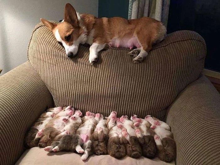 Мама устала домашние любимцы, животные, забавно, корги, очаровательно, питомцы, псы и хозяева, собаки