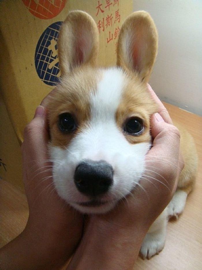 Корги-зайка домашние любимцы, животные, забавно, корги, очаровательно, питомцы, псы и хозяева, собаки