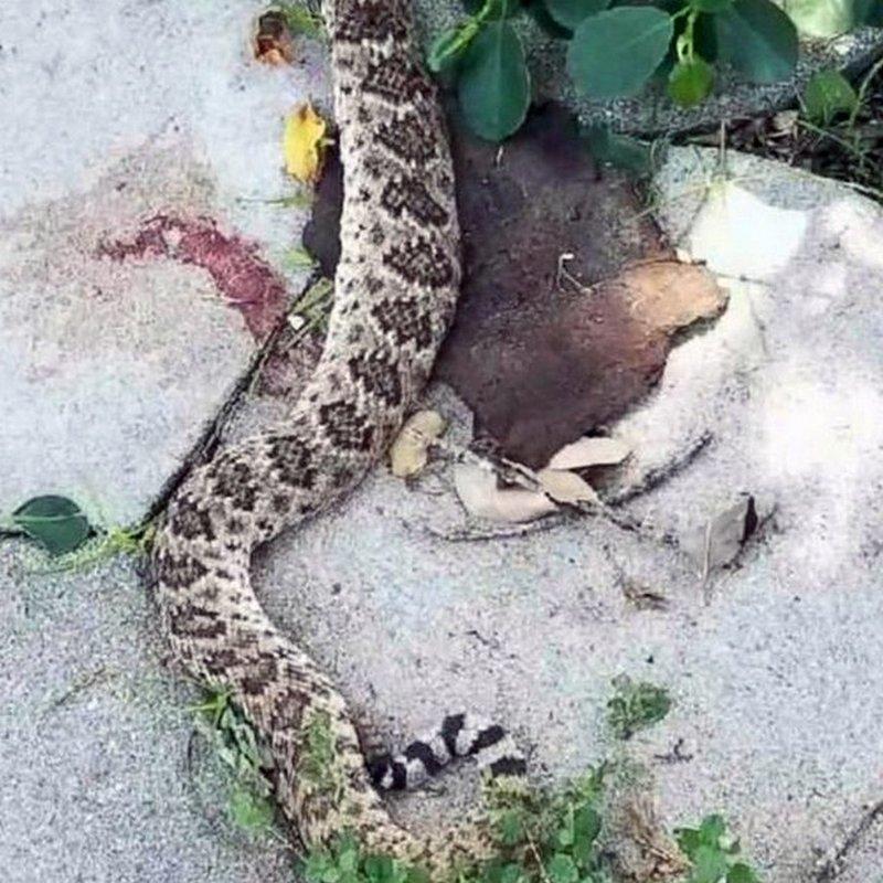 Мило Сатклифф копался в саду, когда наткнулся на гремучую змею длиной более метра. Недолго думая, мужчина взял лопату и отрубил рептилии голову в мире, змея, истории, люди, укус