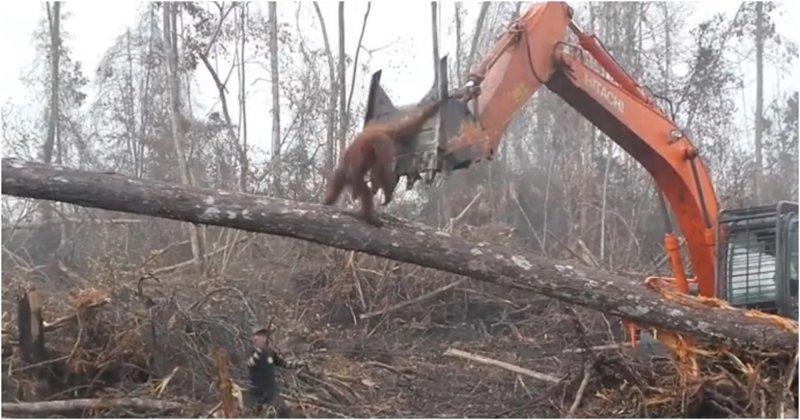 В Индонезии разъяренный орангутан попытался защитить лес от экскаватора видео, вырубка, животные, индонезия, лес, орангутан, природа, экскаватор