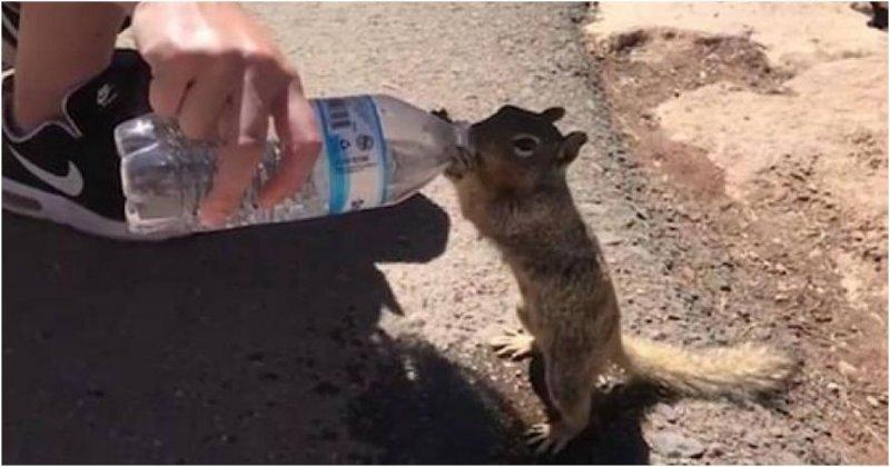 Измученная жаждой белка жадно пьет воду из бутылки белка, видео, гранд каньон, жажда, животные, сша