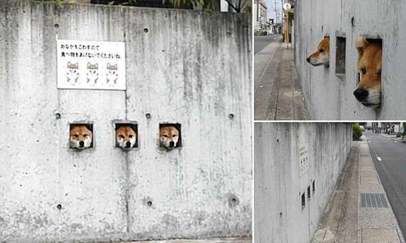 Японские собаки-сторожа стали главной местной достопримечательнстью достопримечательности, животные, забавно, необычно, смешно, собаки, шиба ину, япония