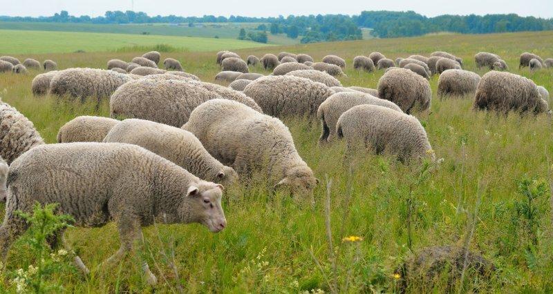 Умные овцы животные, заяц, птицы, синица, слоны, сова, факты