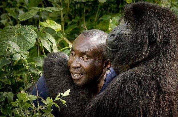 Смотритель национального парка в Конго завел себе необычного друга горилла, горилла и человек, дружба с животными, животные, конго, национальный парк, необычный друг, смотритель