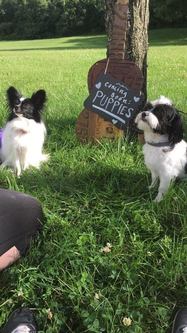 Беременная фотосессия для собак животные, интересное, сладкая жизнь, собаки, фото, шик, юмор