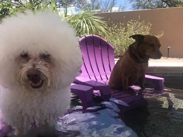 У этих собачек есть собственные стульчики в бассейне животные, интересное, сладкая жизнь, собаки, фото, шик, юмор