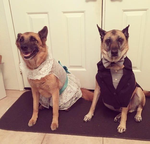 Эти собачки были наряжена к свадьбе стилистами, которые сшили им костюмы. животные, интересное, сладкая жизнь, собаки, фото, шик, юмор
