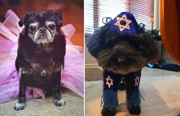 А эти собаки отпраздновали кинсеаньеру у  Лолы (справа), и бар-мицву у пса Горди животные, интересное, сладкая жизнь, собаки, фото, шик, юмор